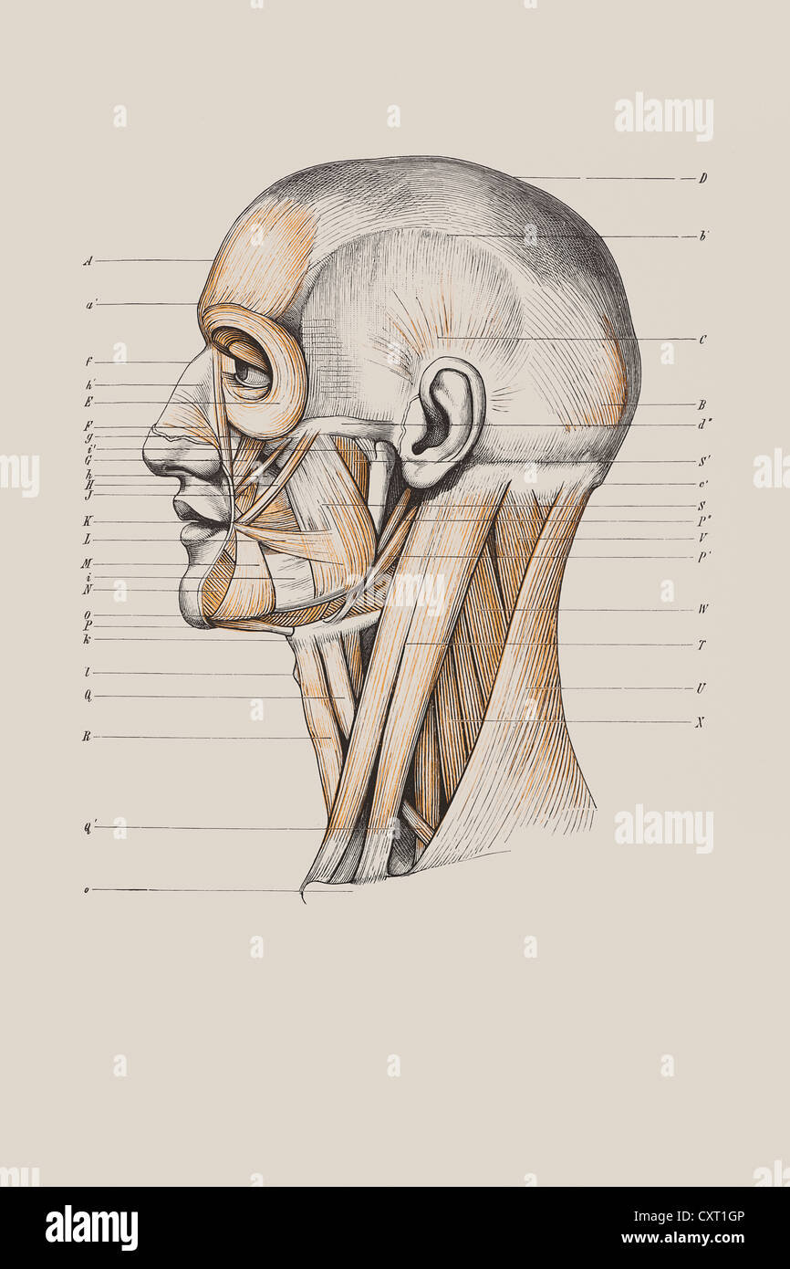 Skull with muscle structure, anatomical illustration Stock Photo ...
