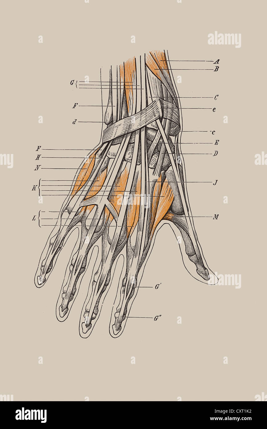 Anatomy Hand Historical Woodcut Stock Photos & Anatomy Hand ...