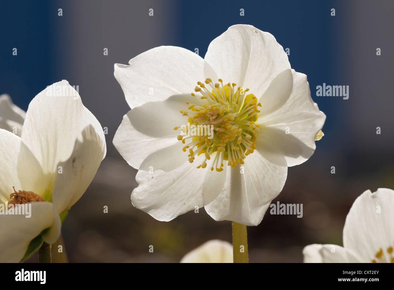 Christmas Rose or Black Hellebore (Helleborus niger), garden plant, Bavaria, Germany, Europe - Stock Image