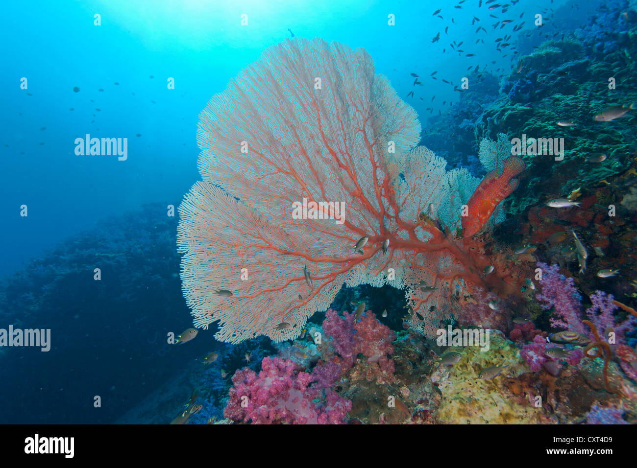 Vermillon Seabass, Jewel Grouper or Coral Hind (Cephalopholis miniata), swimming in the reef, Thailand, Asia - Stock Image