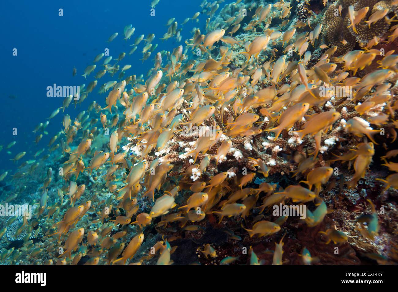 Sea Goldie, Lyretail Coralfish, Lyretail Anthia, Scalefin Anthia or Goldfish (Pseudanthias squamipinnis), swarm - Stock Image