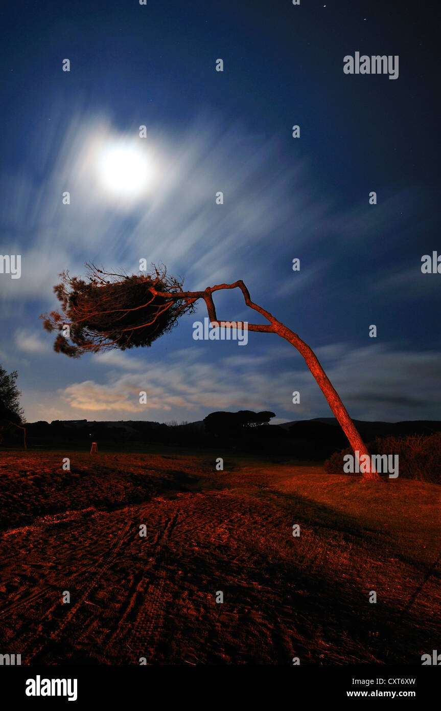 Windbent pine under a full moon, Gulf of Baratti, Populonia, Tuscany, Italy, Europe - Stock Image
