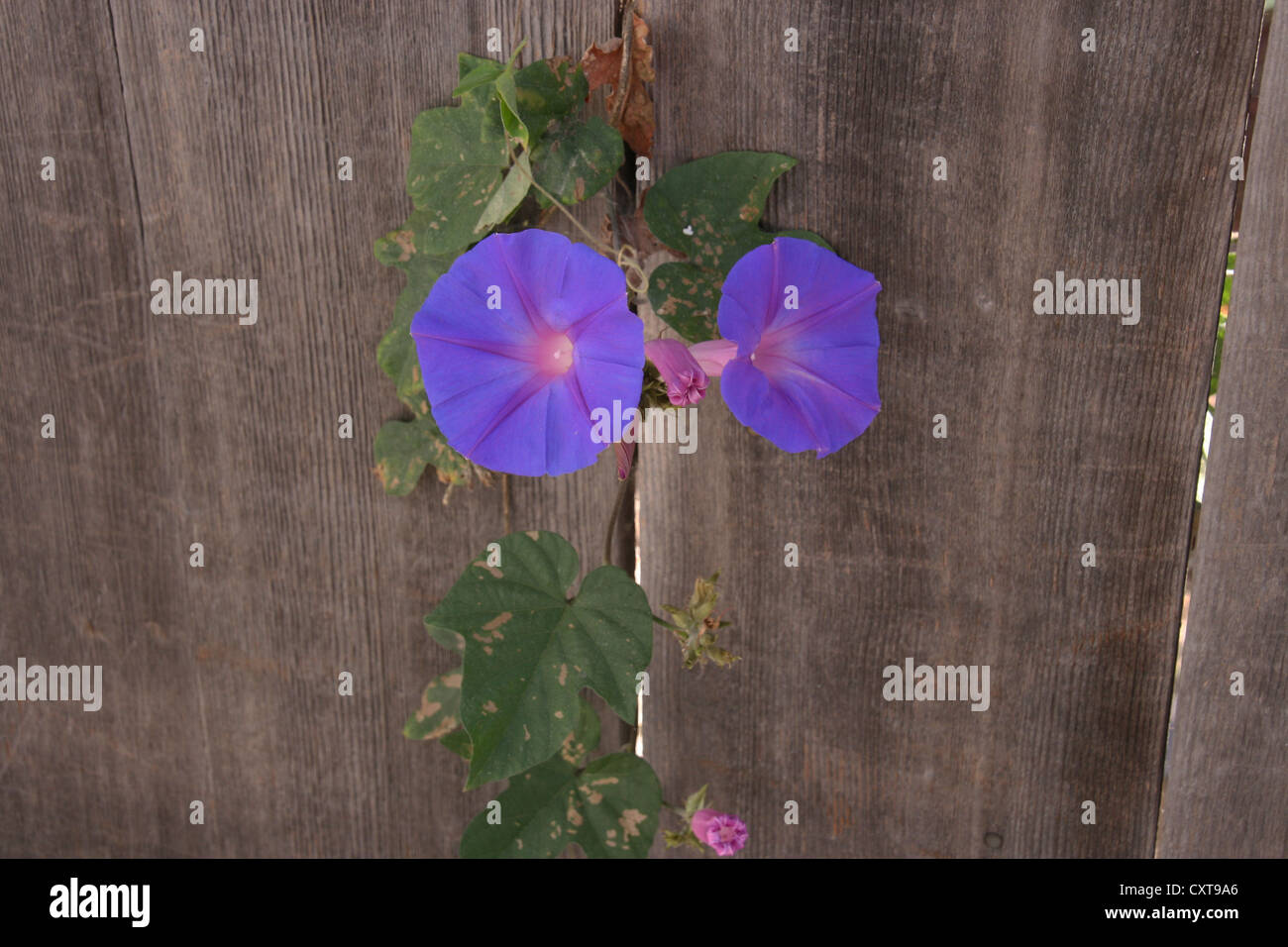 Picture of two open morning glories growing through a picket fence. - Stock Image