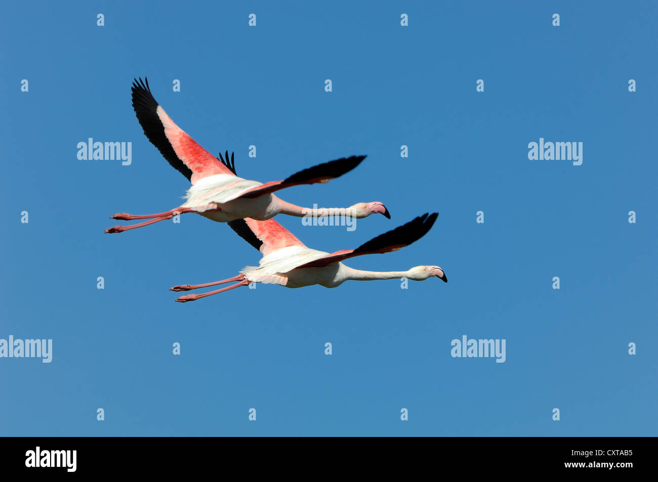 Pair of Greater Flamingos, Phoenicopterus ruber, Flying Overhead Camargue Provence France - Stock Image