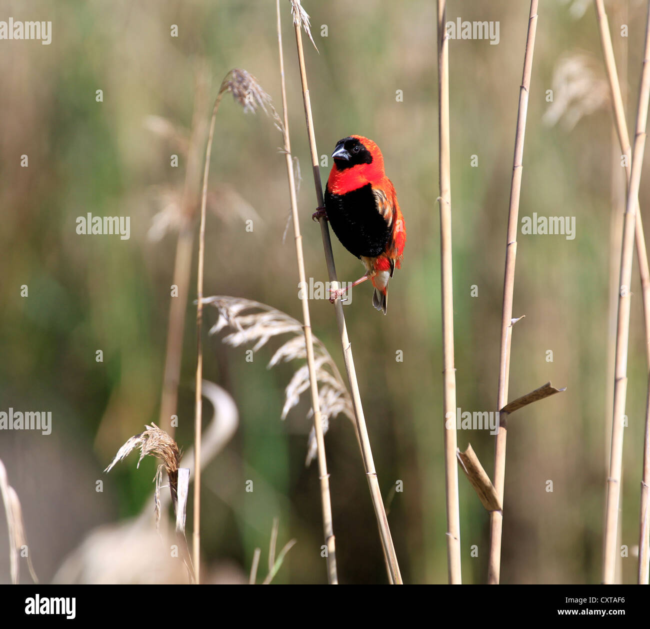Male  Southern Red Bishop or Red Bishop (Euplectes orix) with breeding plumage. - Stock Image