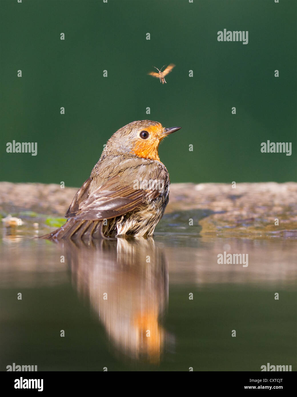 European robin (Erithacus rubecula) bathing in a forest pool with an insect in background - Stock Image