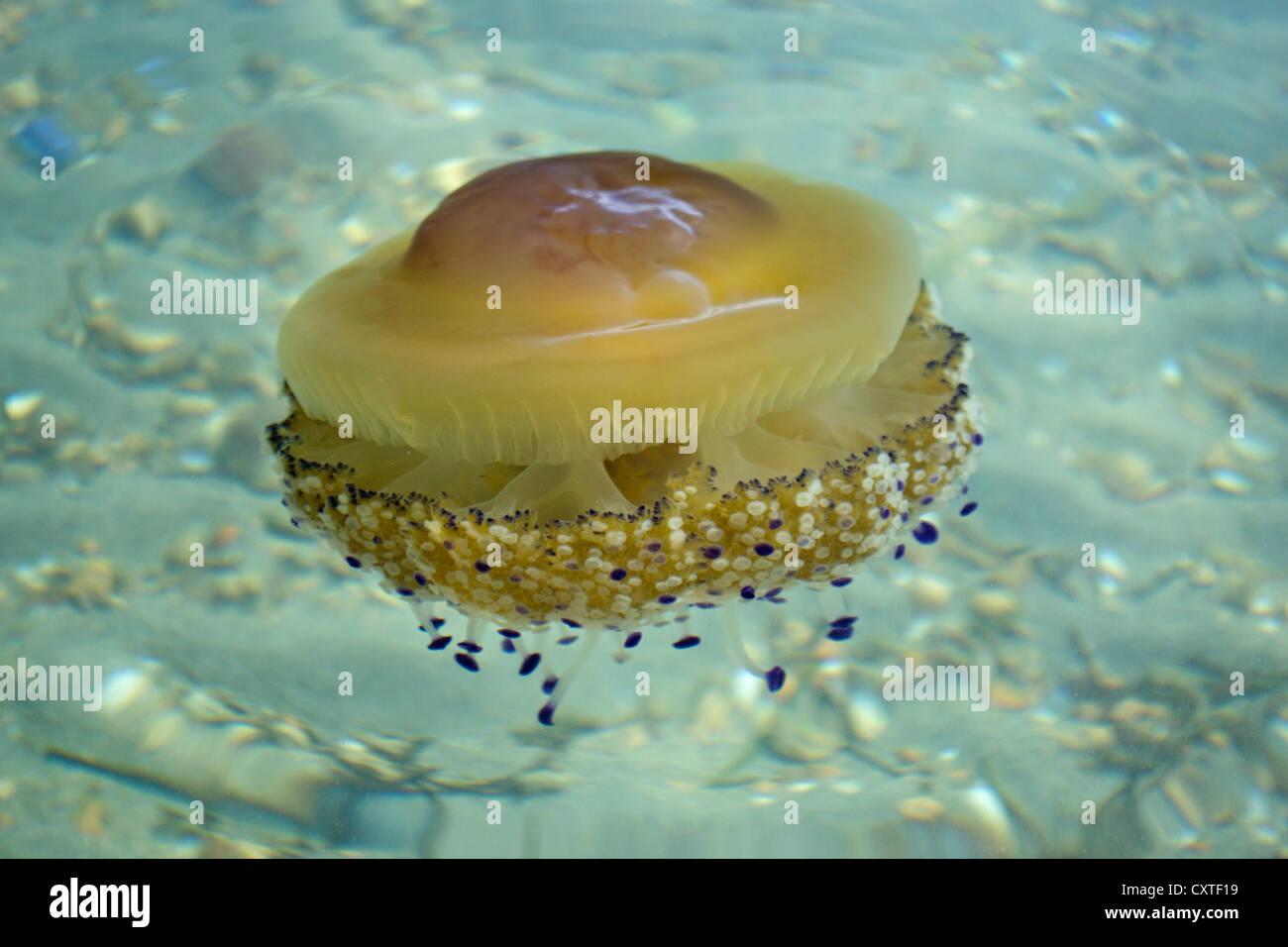 Single Mediterranean jellyfish in the Mar Menor, Costa Calida, South Eastern Spain, Europe - Stock Image