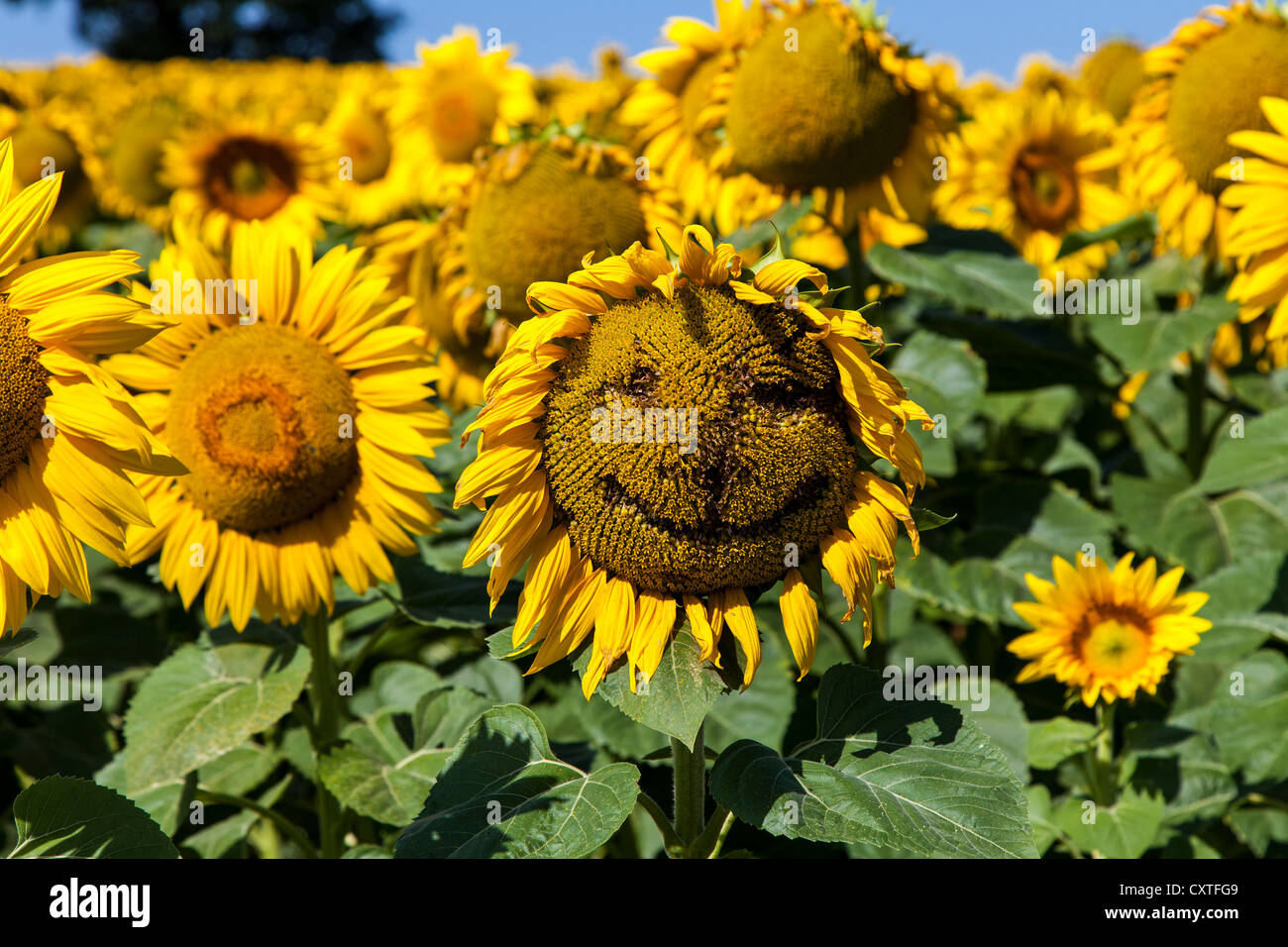 Sunflower with face drawn onto it in the Gers, Gascony, France - Stock Image