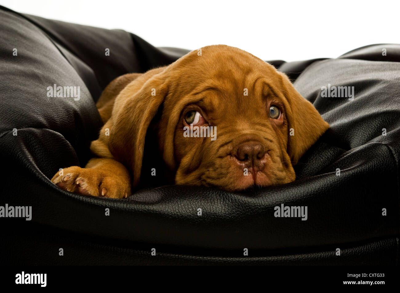 Dogue De Bordeaux puppy on a black bean bag - Stock Image