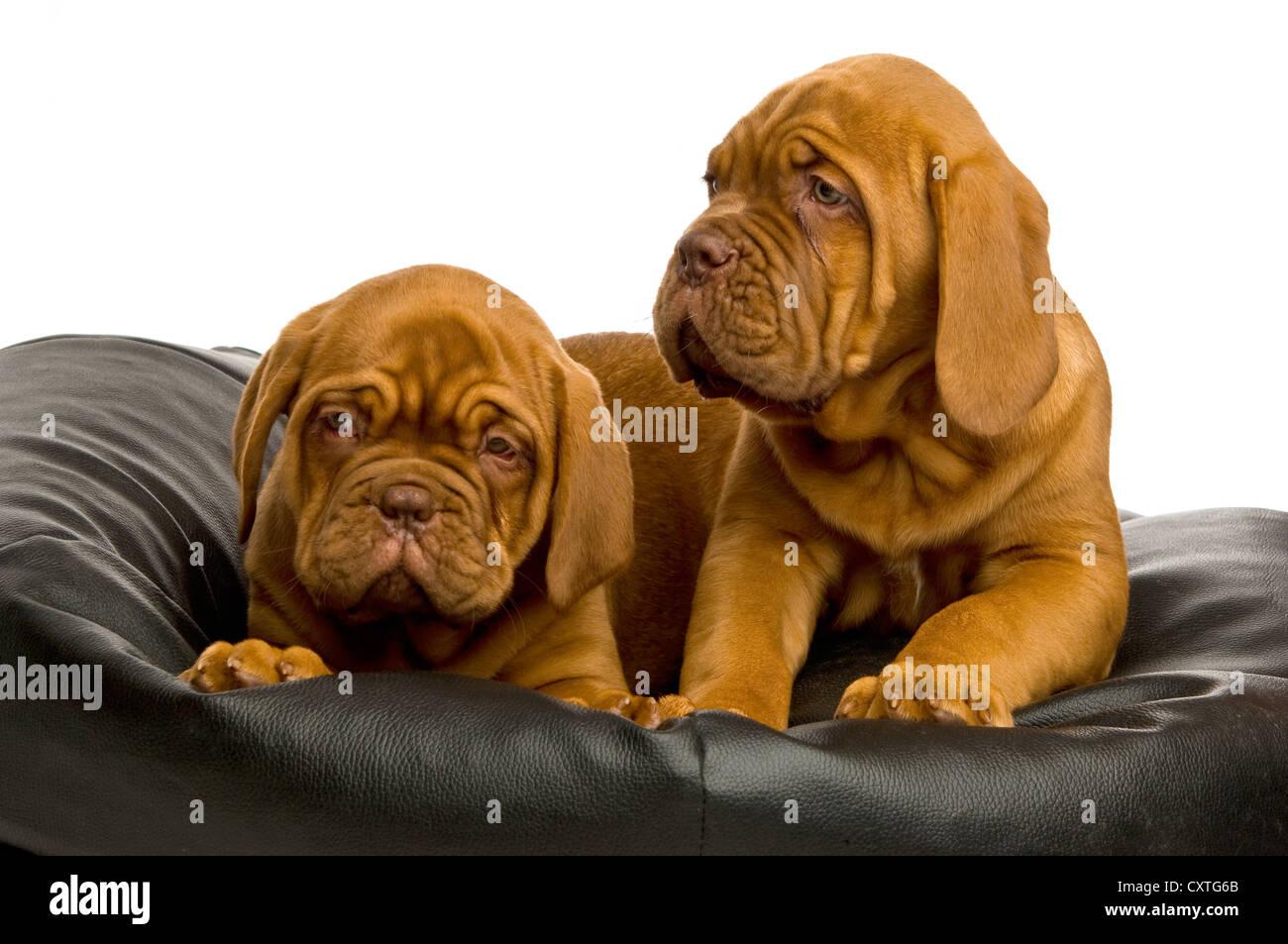 Dogue De Bordeaux puppies on a black bean bag - Stock Image