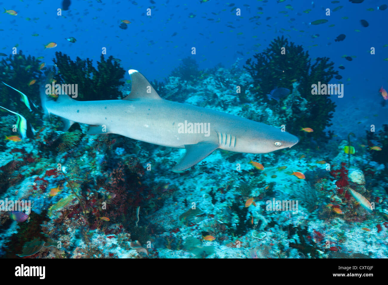 Whitetip Reef Shark, Triaenodon obesus, South Male Atoll, Maldives - Stock Image