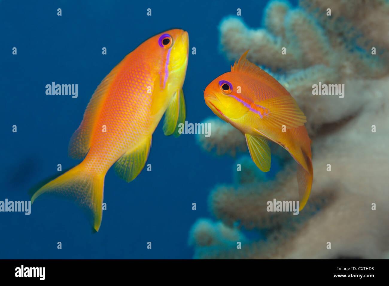Lyretail Anthias, Pseudanthias squamipinnis, Felidhu Atoll, Maldives - Stock Image