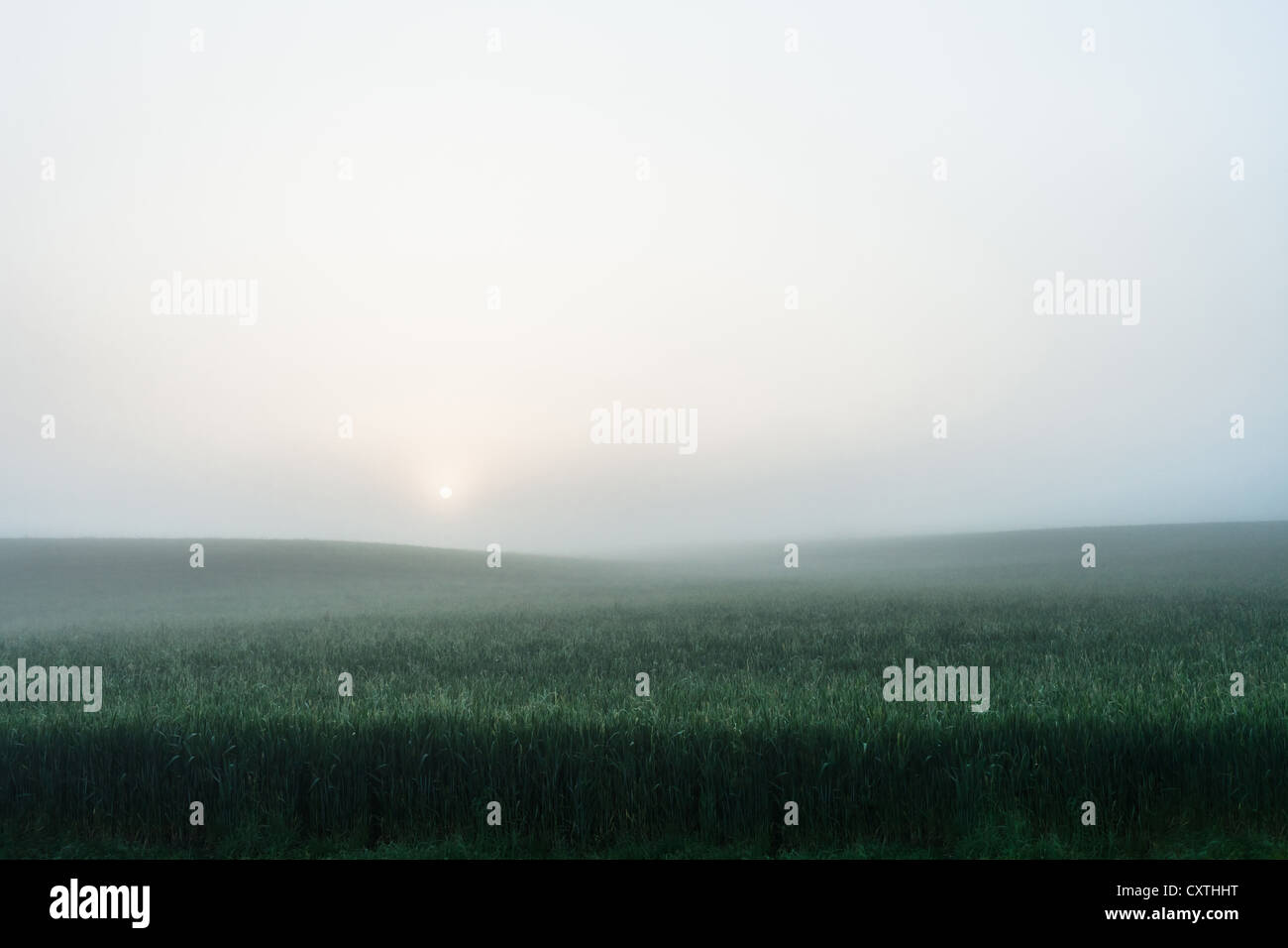 Foggy field of tall grass - Stock Image