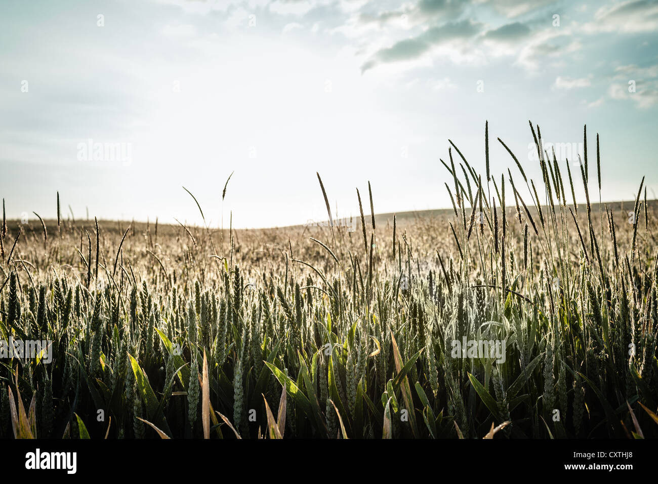 Field of tall grass under blue sky - Stock Image