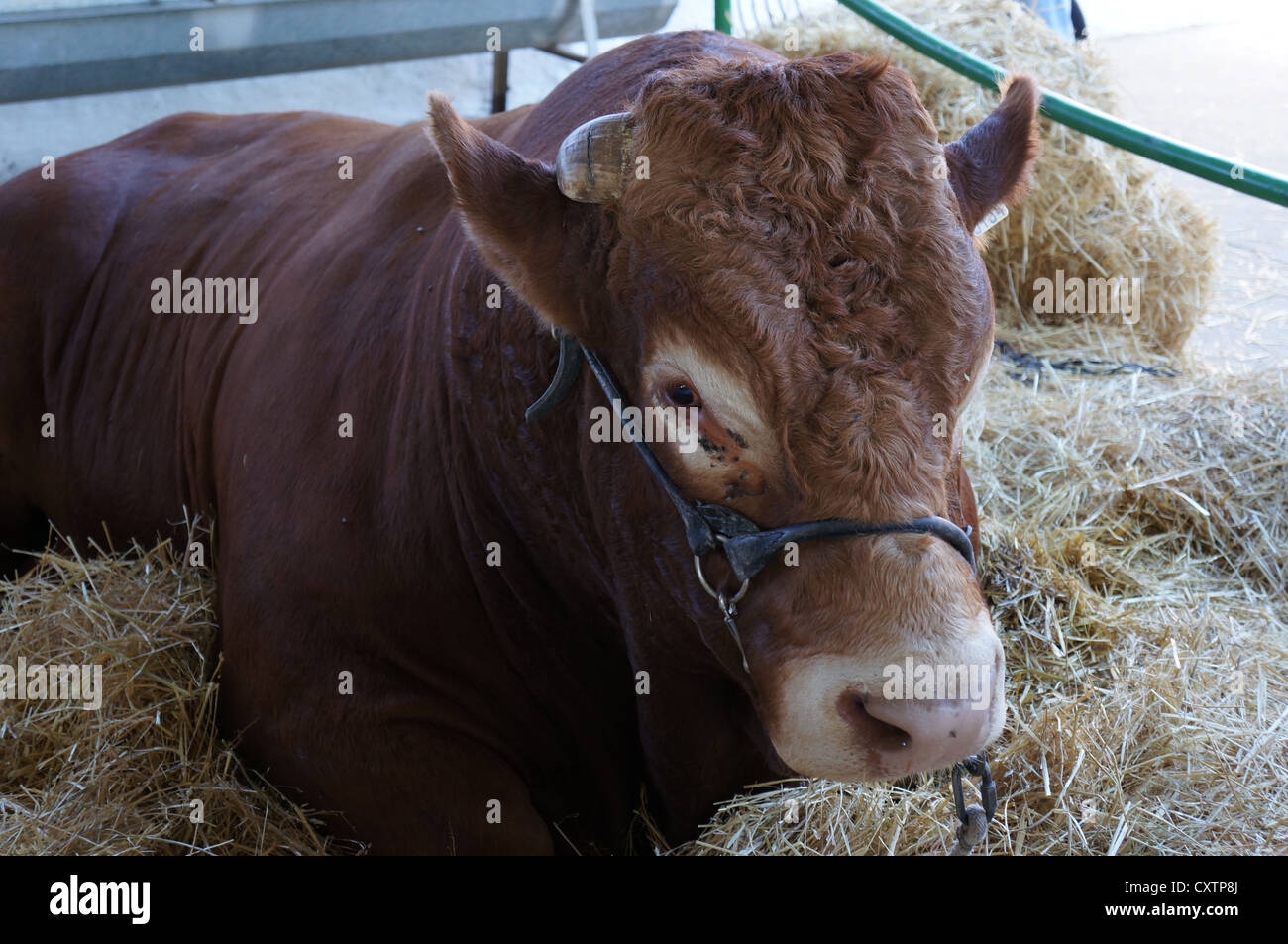 The Zafra Cattle (Feria Internacional Ganadera) Fair at International livestock fair at Zafra, Badajoz, Spain - Stock Image
