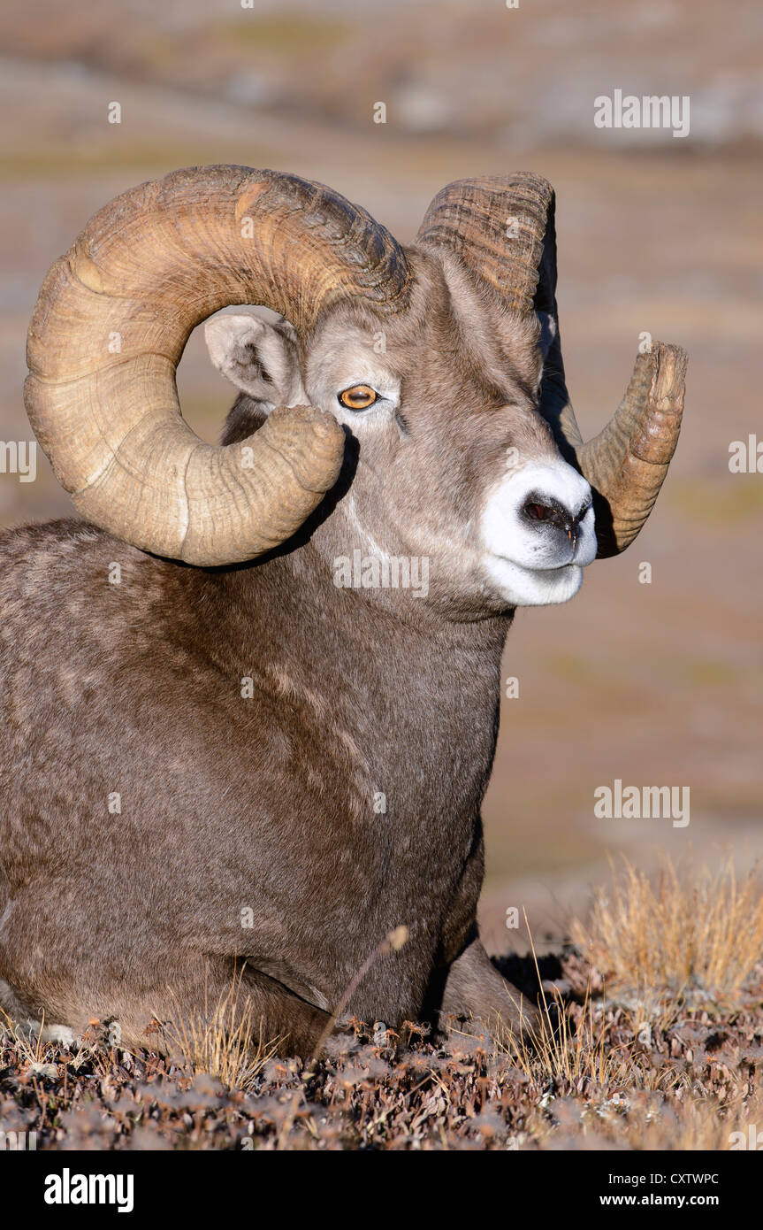 A Bighorn Ram with a full curl - Ovis canadensis - Northern Rockies - Stock Image