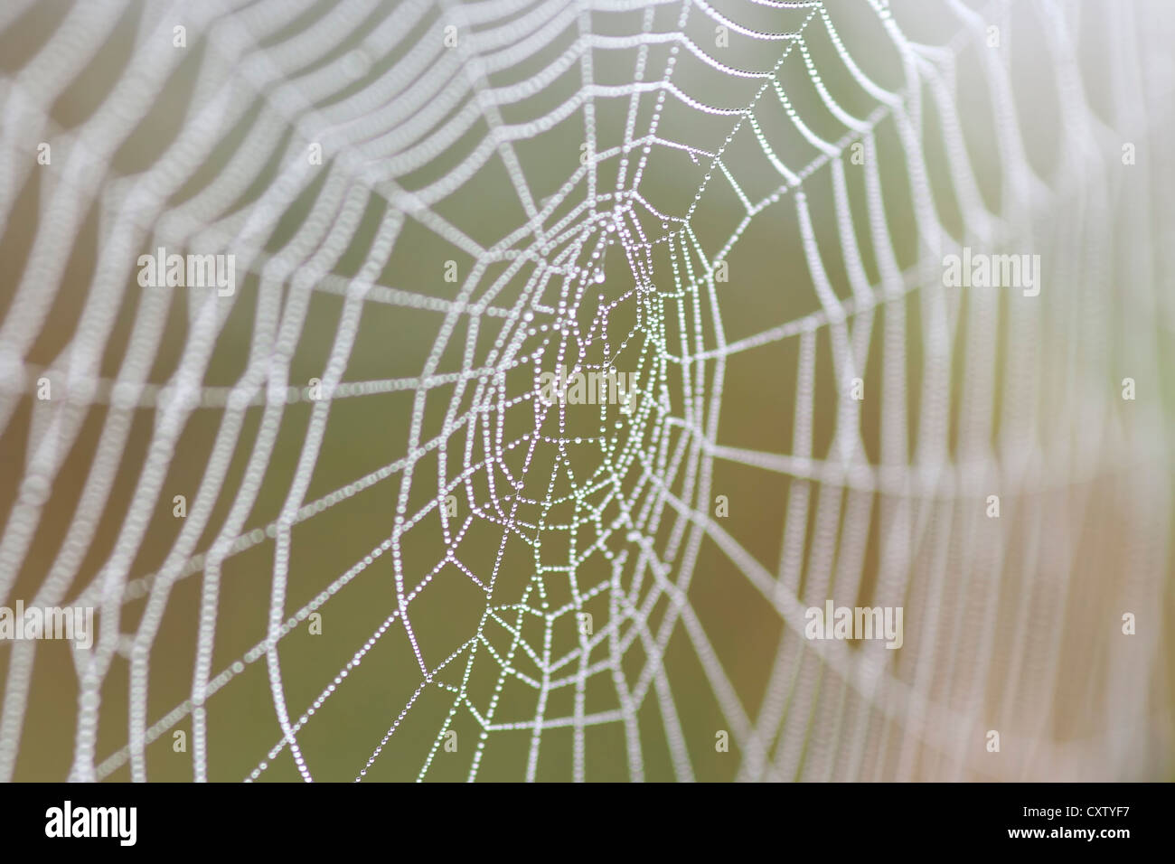 spider web wet with dew - Stock Image