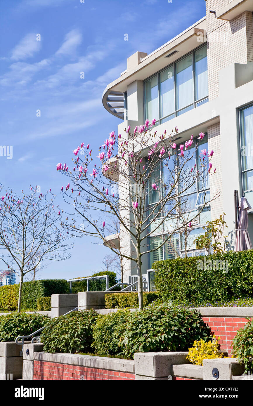 A saucer magnolia in front of a modern apartment or condo building in Vancouver, British Colombia. - Stock Image