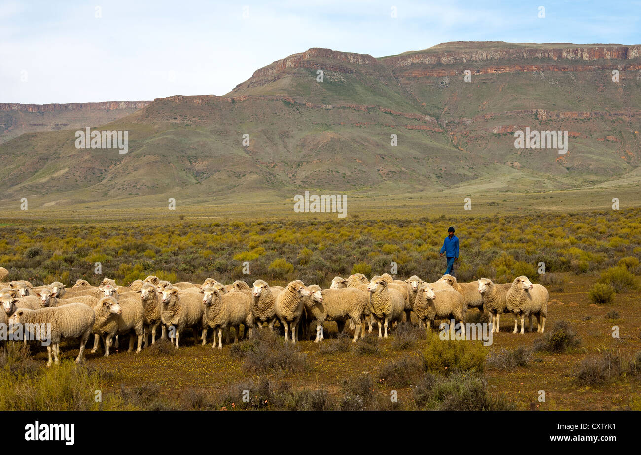 Herd of Merino sheep grazing in the Hantam Karoo, Hantam Mountains behind, Calvinia, Namaqualand, South Africa - Stock Image
