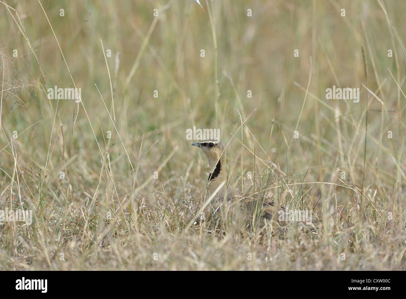 Yellow-throated Sandgrouse (Pterocles gutturalis) male hidden on the ground Masai Mara - Kenya - East Africa Stock Photo
