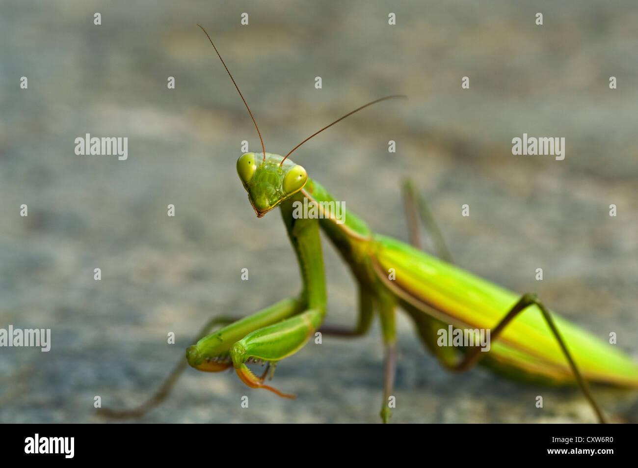 Praying mantis looking at camera - Stock Image