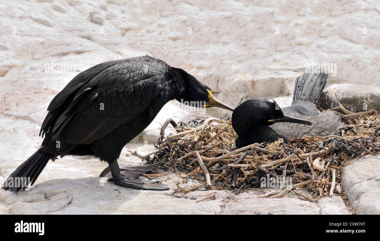 A Shag (Phalacrocorax aristotelis) preens its mate on their nest. Northumberland, UK. - Stock Image