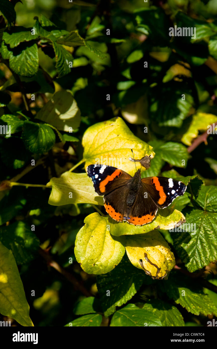 Wild butterfly resting on leaves in sunny afternoon light - Stock Image