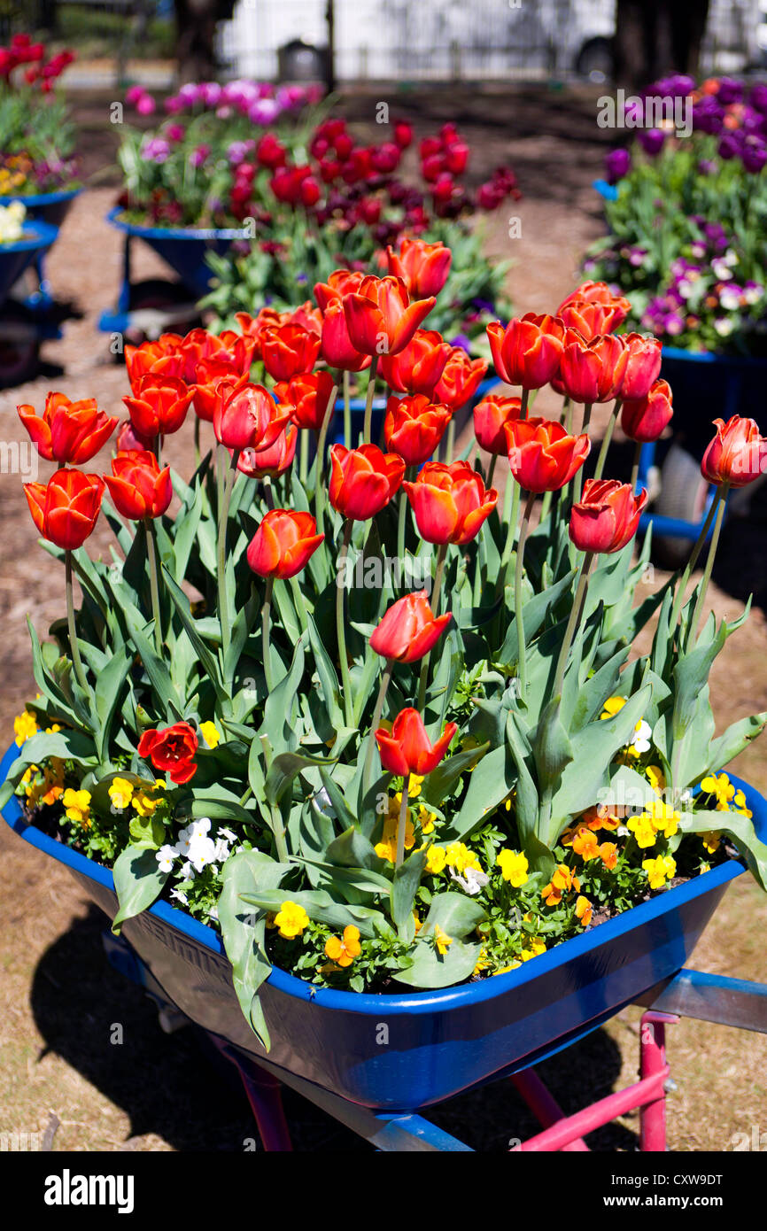 Wheelbarrows planted with red tulips at Floriade, Commonwealth Park, Canberra, Australia - Stock Image