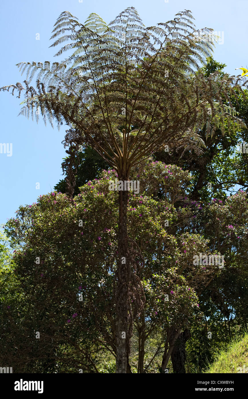 Giant tree fern, prehistoric plant, San Agustin, Archaeological Site, Colombia Stock Photo