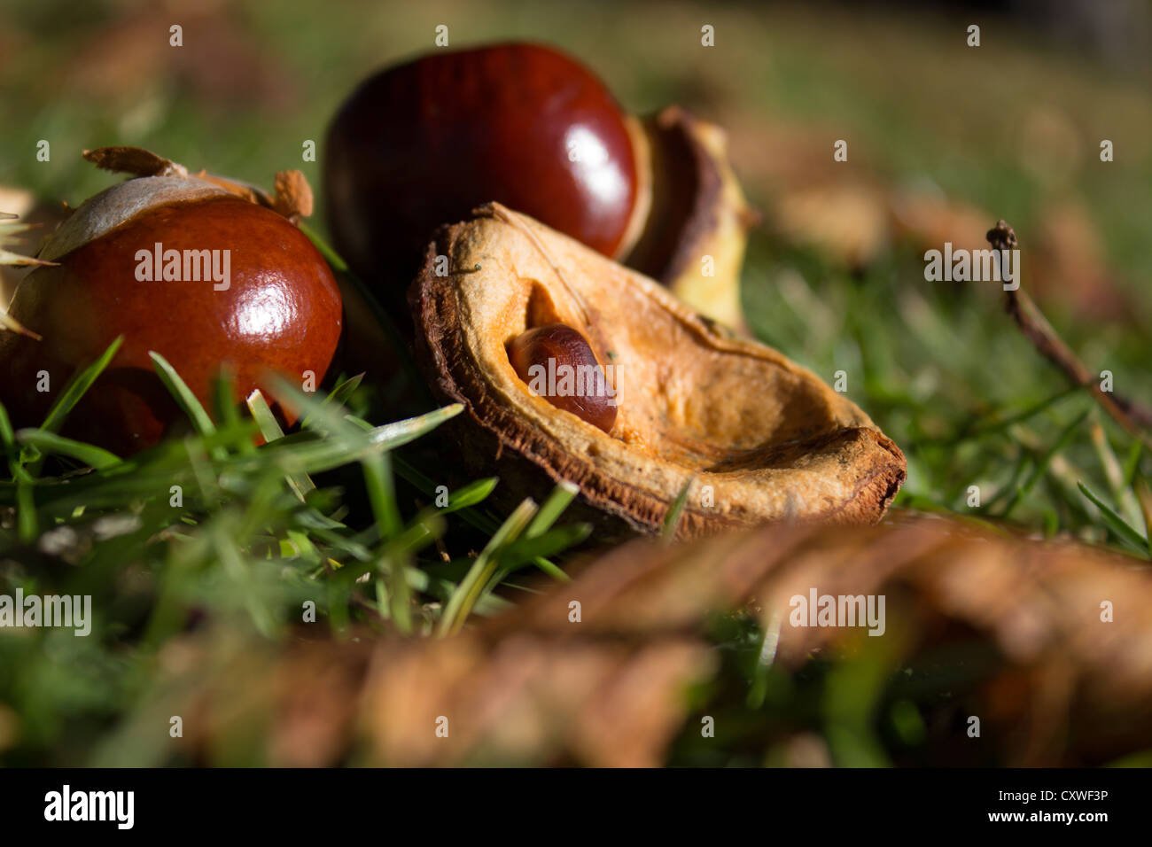 Conker and shell - Stock Image