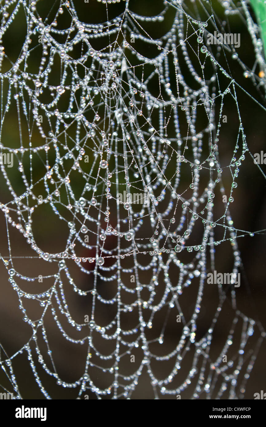 Cobweb covered in water droplets - Stock Image