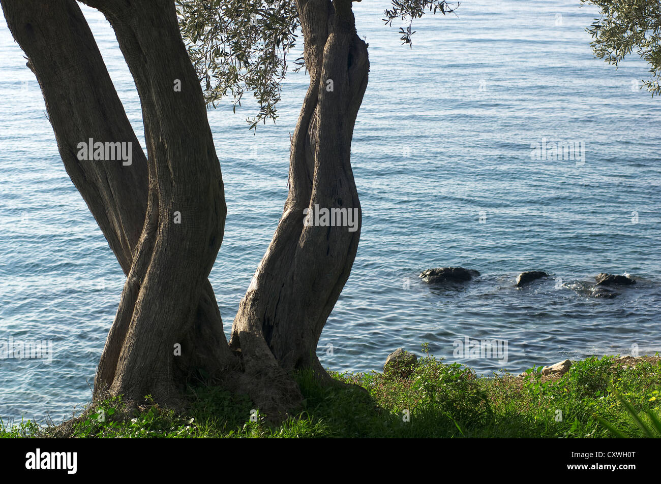 Olive tree by the sea - Stock Image