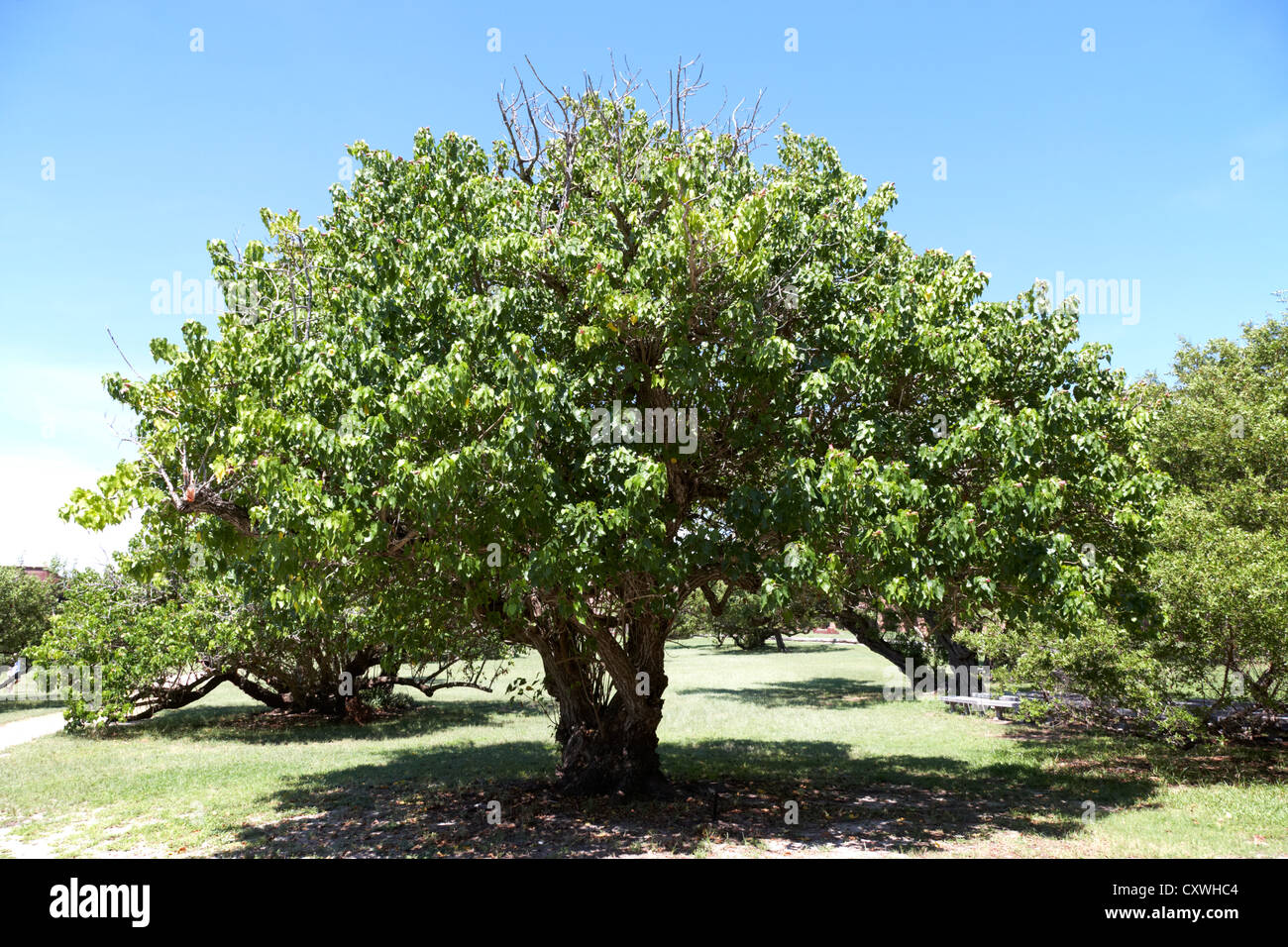 seaside mahoe or portia tree dry tortugas florida keys usa - Stock Image
