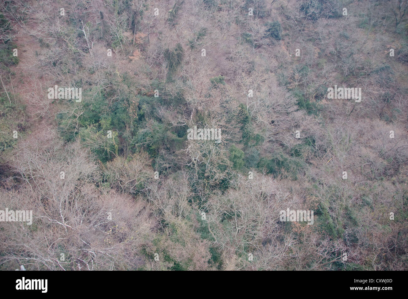 Japanese forest in winter seen from above with green and empty trees - Stock Image