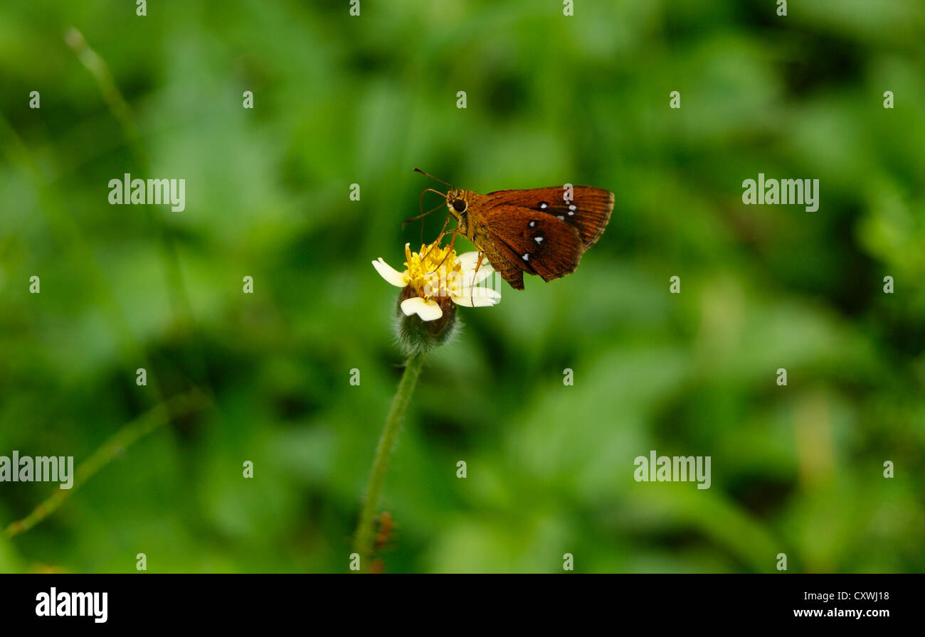 Chestnut Bob Butterfly sucking honey from Shaggy Soldier flower ( Galinsoga quadriradiata ) at Western ghats , South - Stock Image