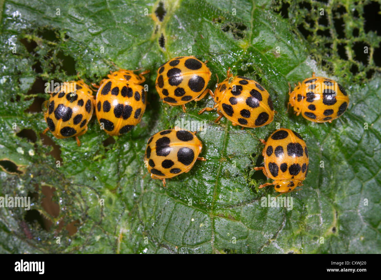 A group of 28-spotted potato ladybirds (Epilachna vigintioctopunctata) on a leaf. - Stock Image