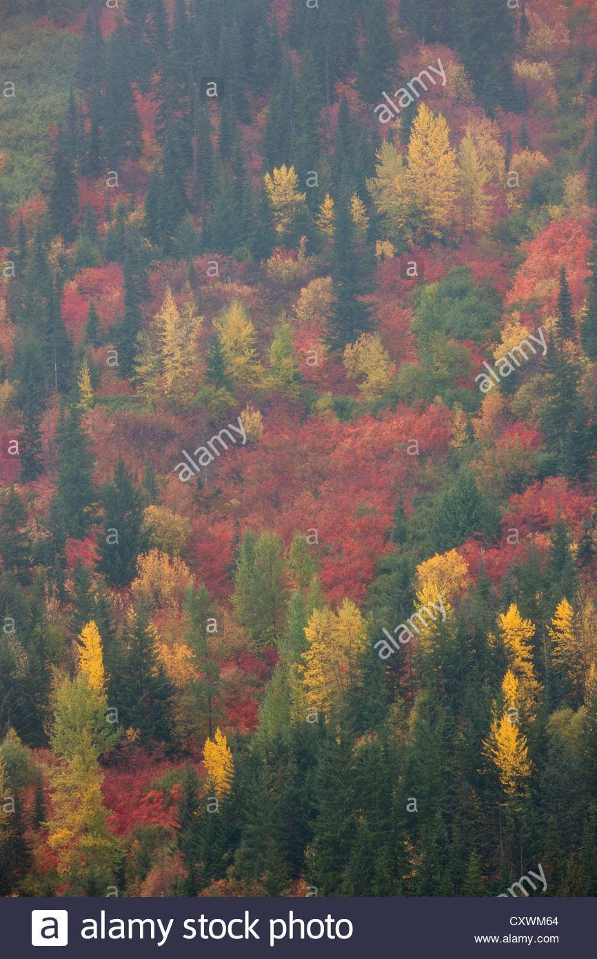A variety of fall colors mix with the evergreen trees on a hillside at Stevens Pass, Washington. - Stock Image