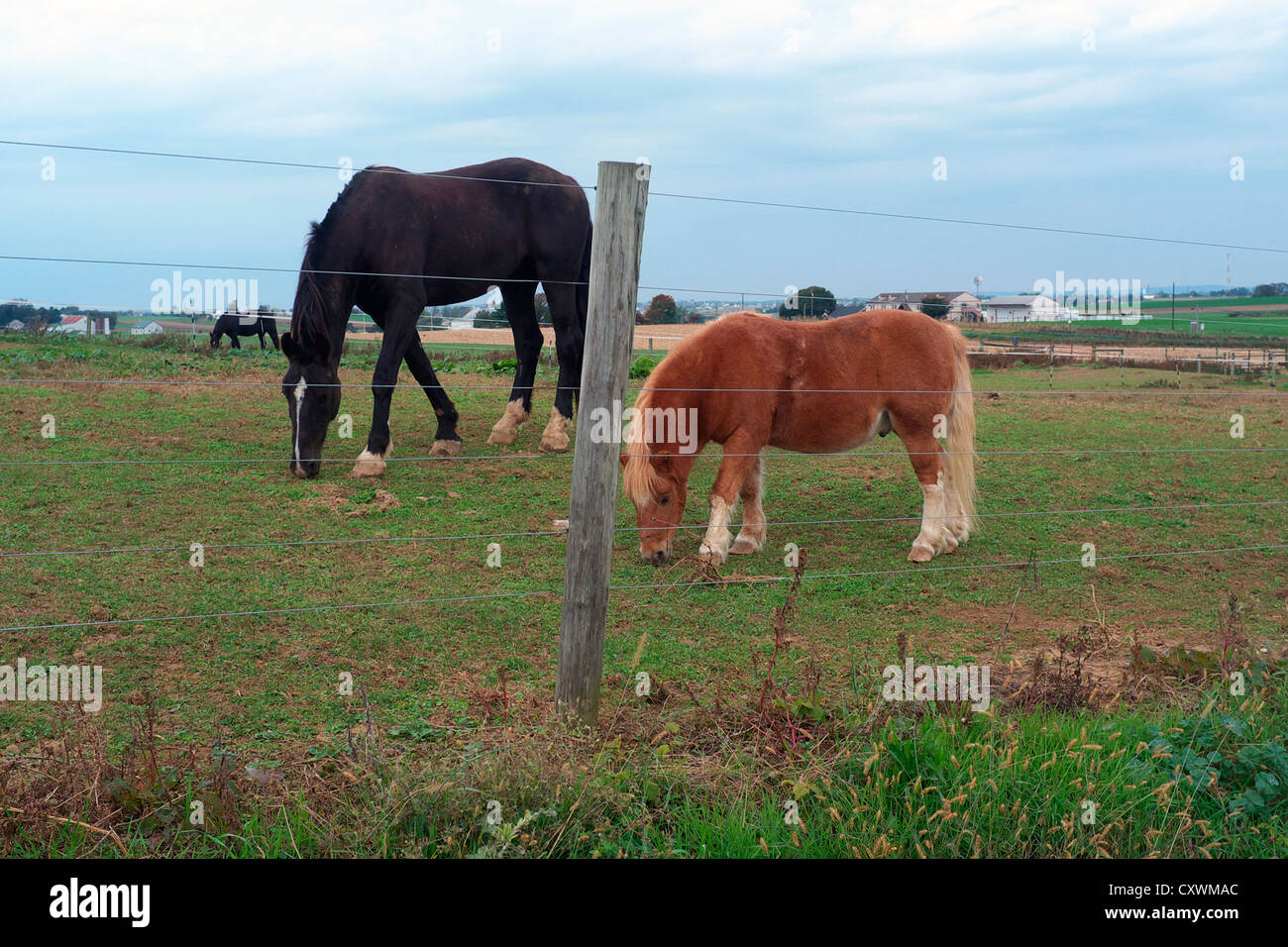 Two horse behind barbed wire fence in Lancaster, Pennsylvania - Stock Image