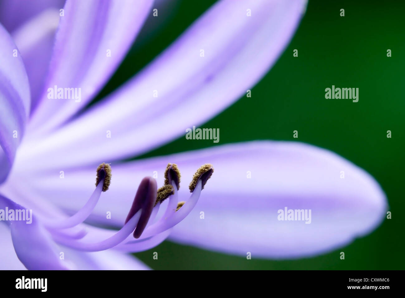 Angiosperms and Gymnosperms of Lily flower - Stock Image