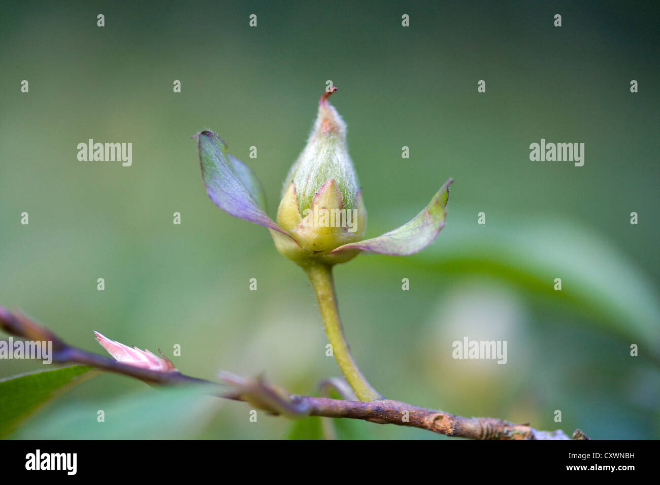 Acer pseudoplatanus sycamore maple Bud Stock Photo
