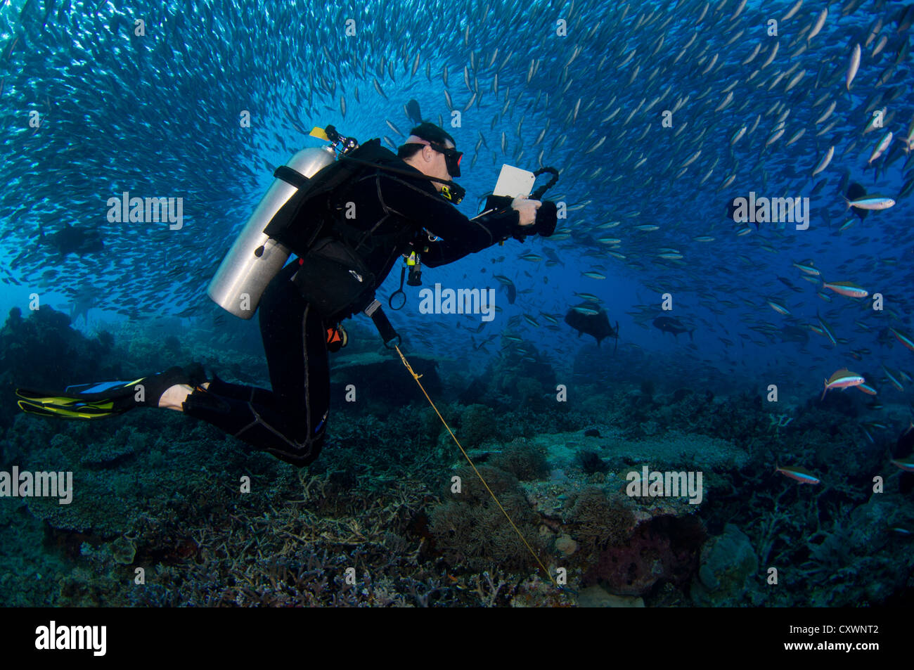 Diver Surrounded by Schooling Fusiliers and Hunting Trevally, Hard to Find Rock or Castle Rock, Komodo National - Stock Image