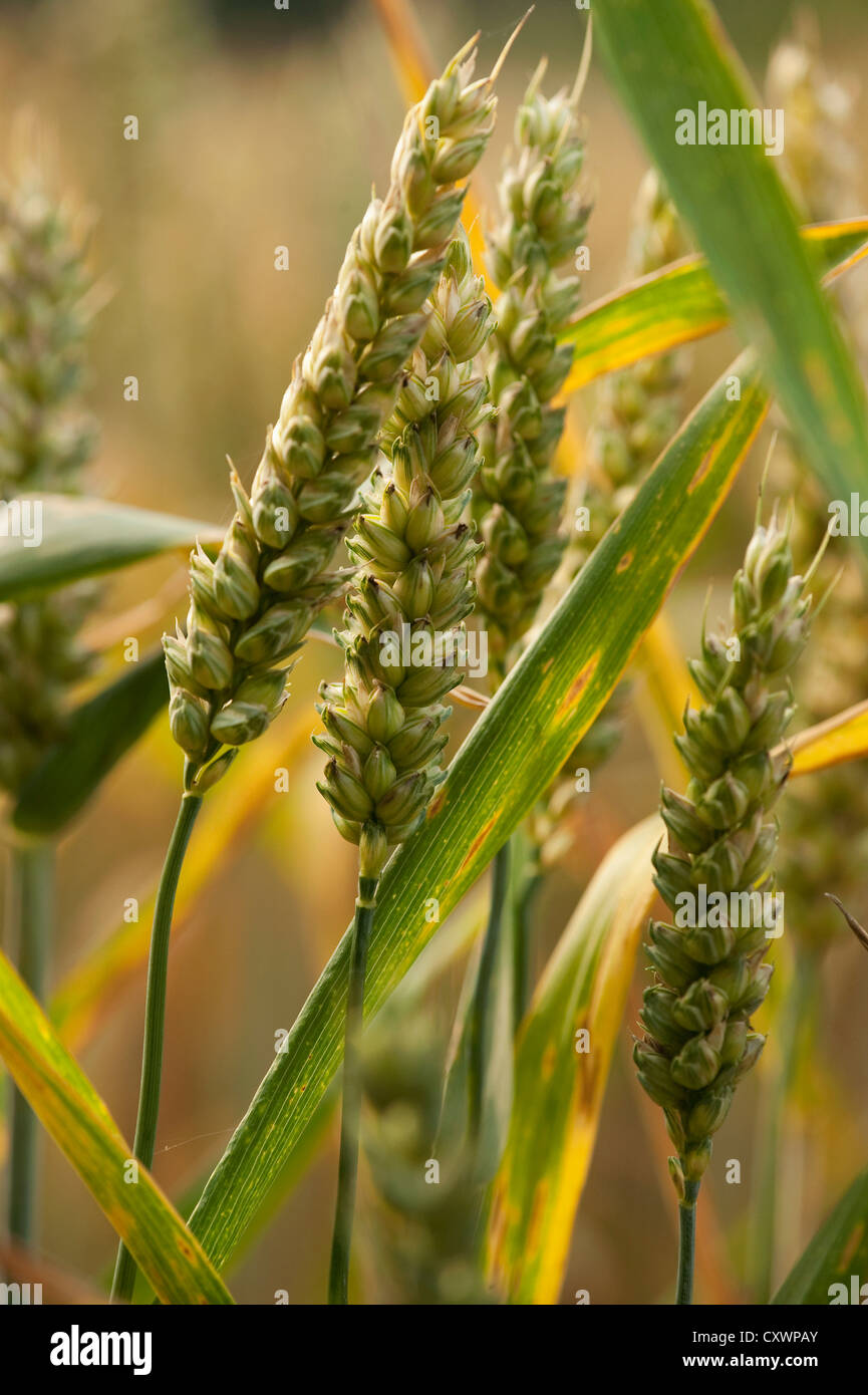Close up of ears of wheat - Stock Image