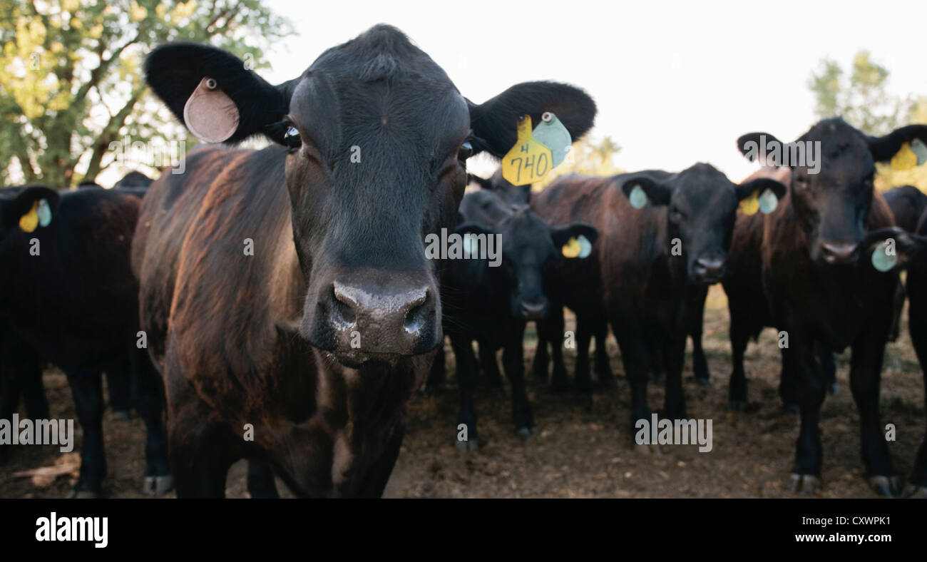 Cows wearing tags in ears - Stock Image