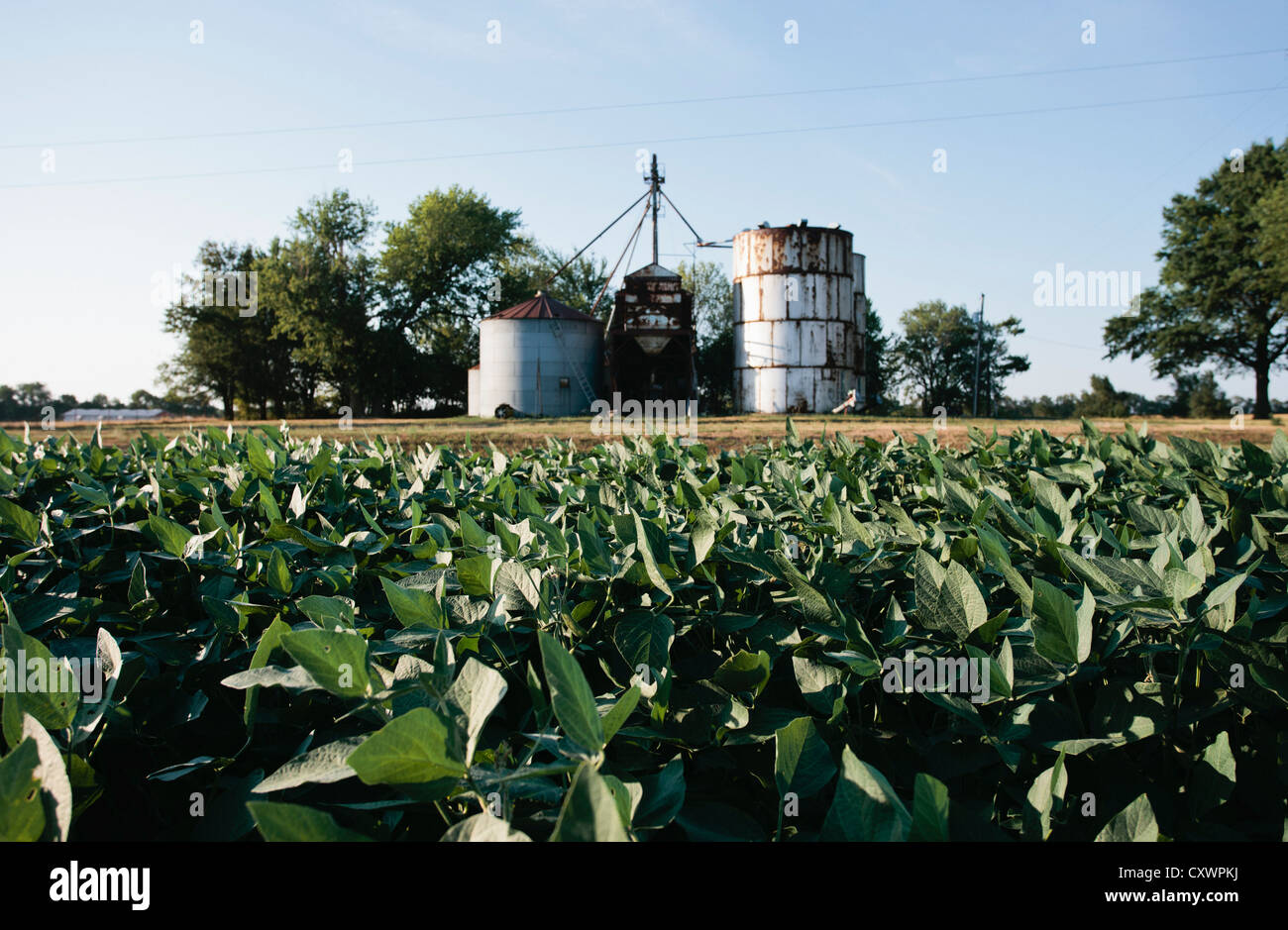 Field of soybeans and grain elevator - Stock Image