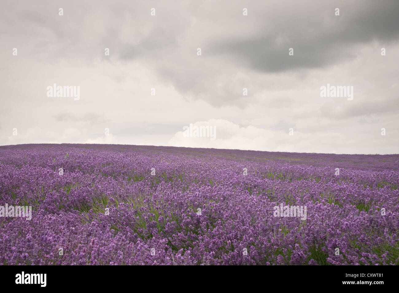 Field of purple flowers under cloudy sky - Stock Image