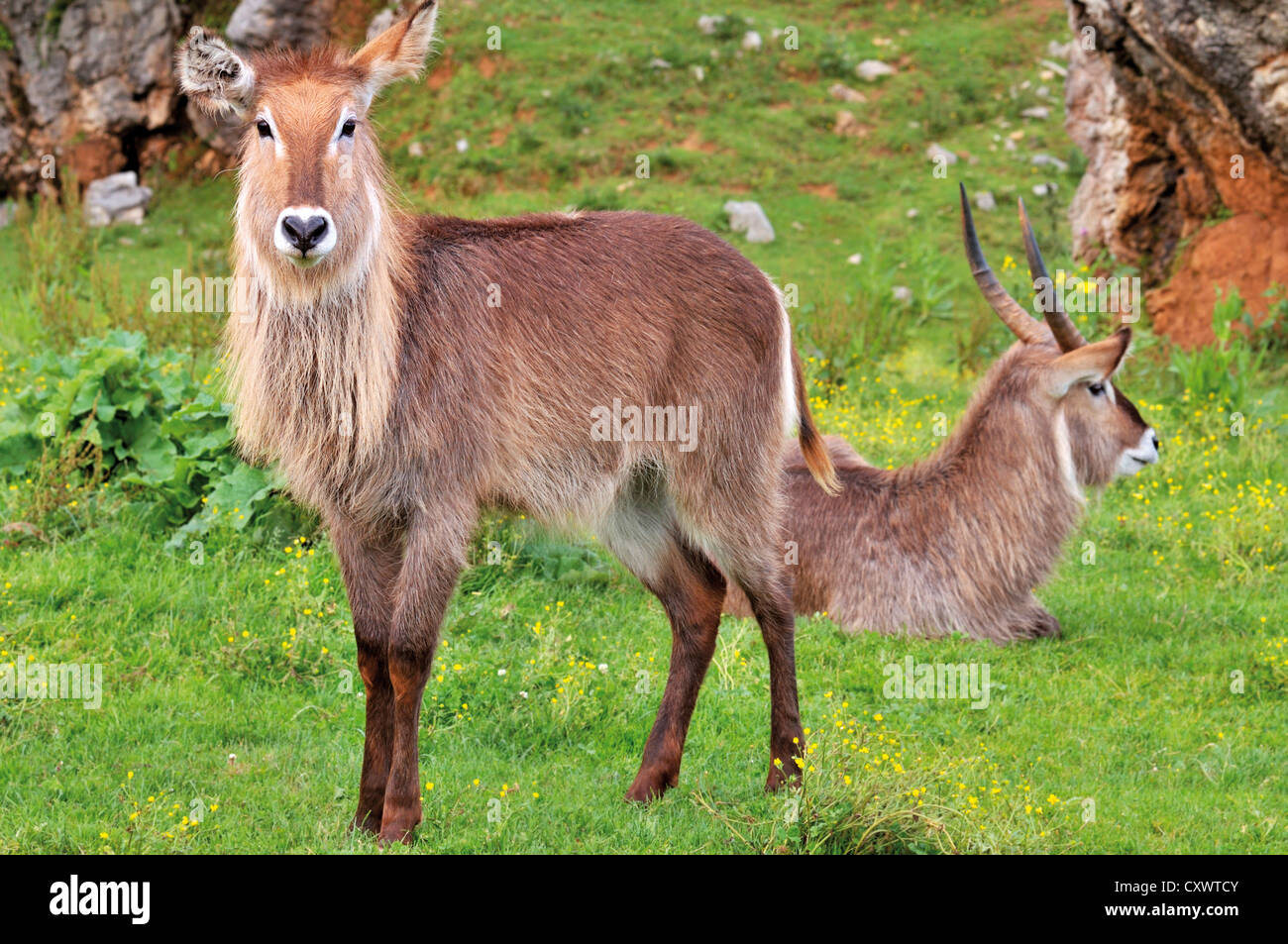 Spain, Cantabria: Kobus in the Nature and animal park Carbaceno - Stock Image