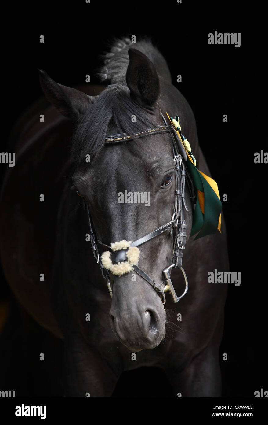 Portrait of a black thoroughbred horse - Stock Image