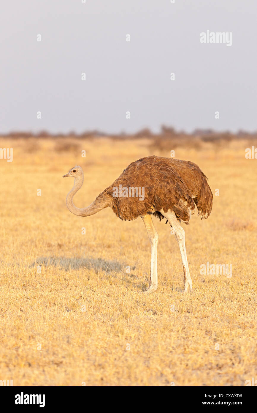 Female ostrich (Struthio camelus) on an open African plain in dawn light, Botswana - Stock Image