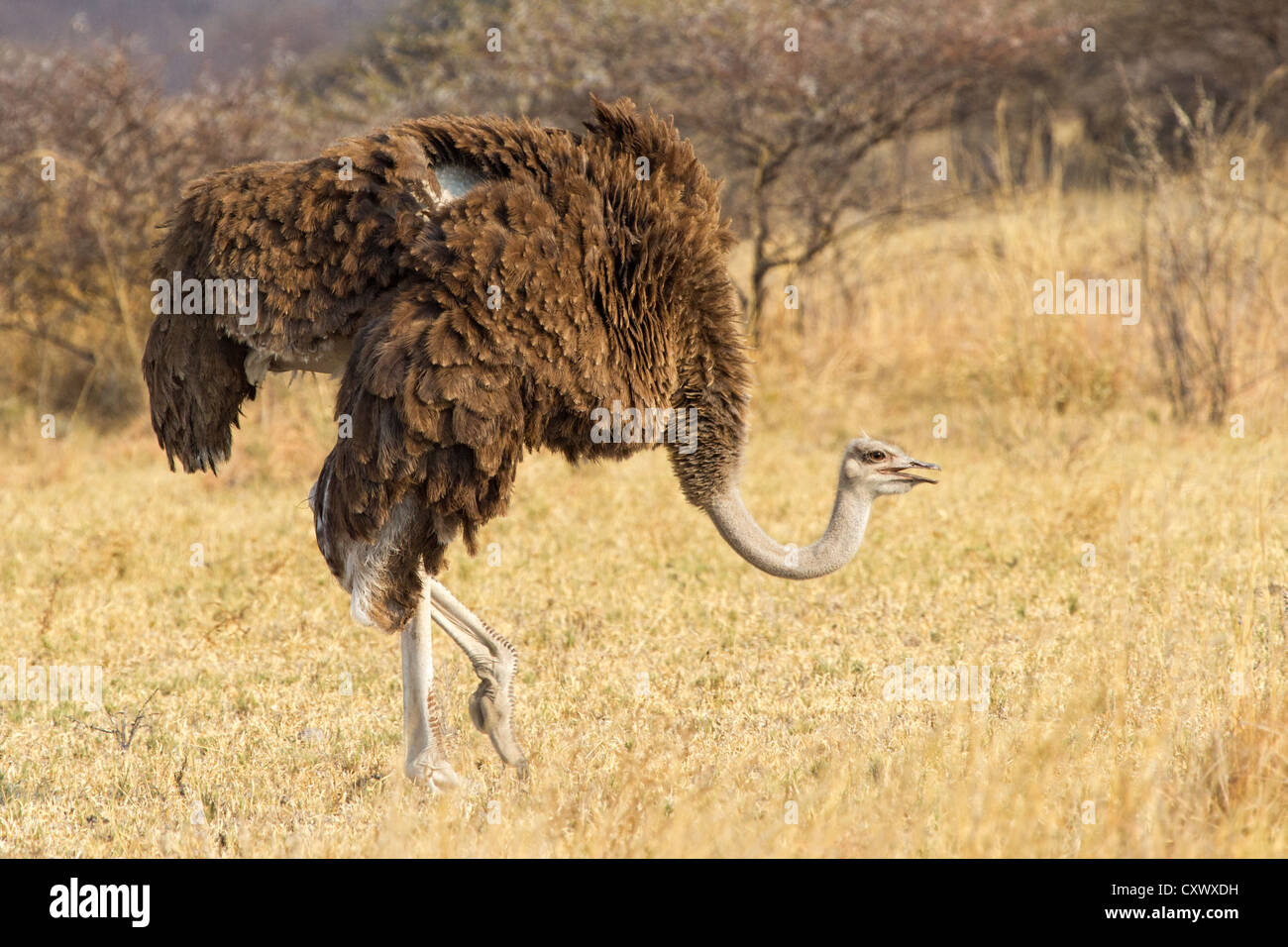 Female ostrich (Struthio camelus) searching for food in dry grass scrubland, Nxai pan, Botswana - Stock Image