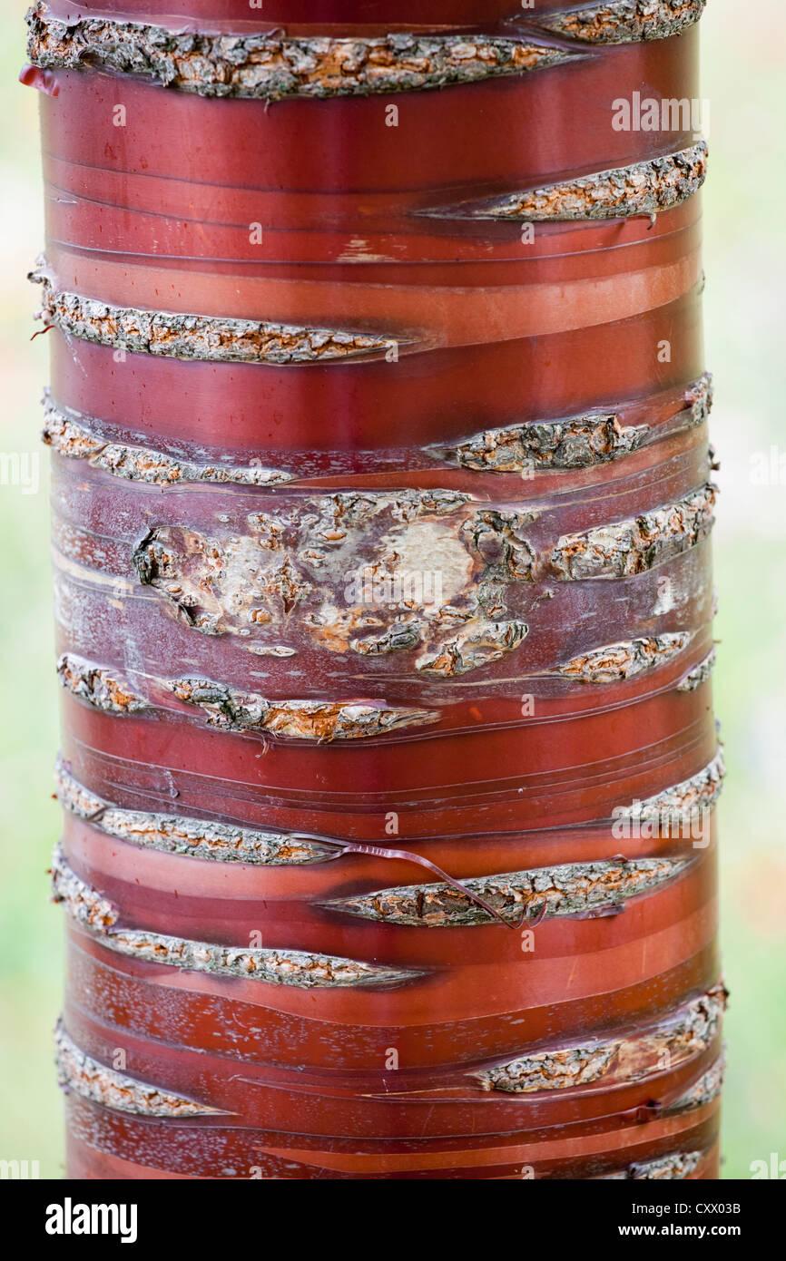 Tree bark shedding, UK - Stock Image